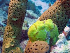 Frogfish bij Ol' Blue