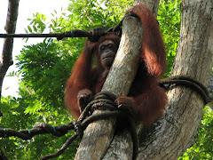 Orang Utang in Singapore Zoo