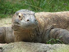 Komodo varane at Singapore Zoo