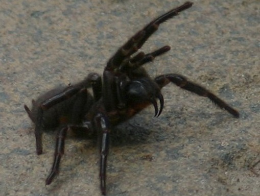 funnel_web_spider