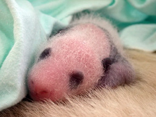 Process of Baby Panda Growing 06