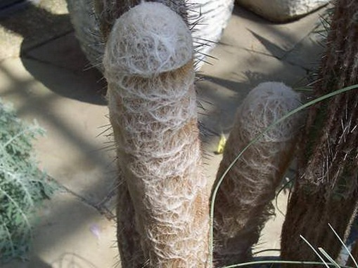 Most Suggestive Cacti On Earth 285