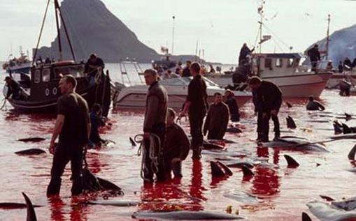 Pembunuhan Massal Ikan Lumba-Lumba di Denmark