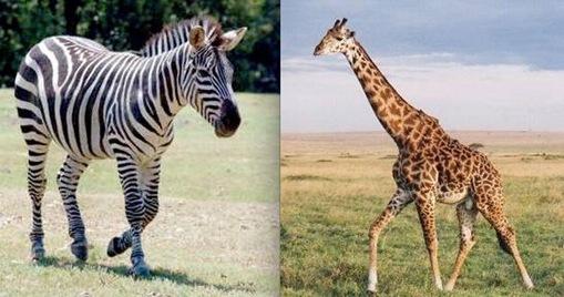 Giraffe + Zebra