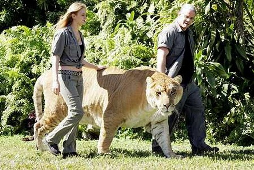 Jungle Island In Miami Is Home To A Liger (a Hybrid Cross Between A Male  Lion And A Female Tiger) Named Hercules, Which Is The Largest Non Obese  Liger.