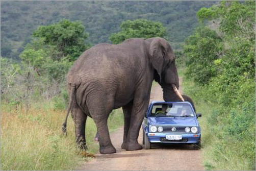 animals-attacking-cars-11