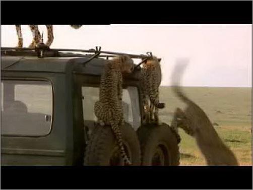 animals-attacking-cars-16