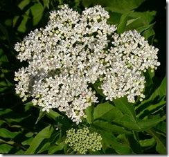 flor de sauco planta medicinal y propiedades
