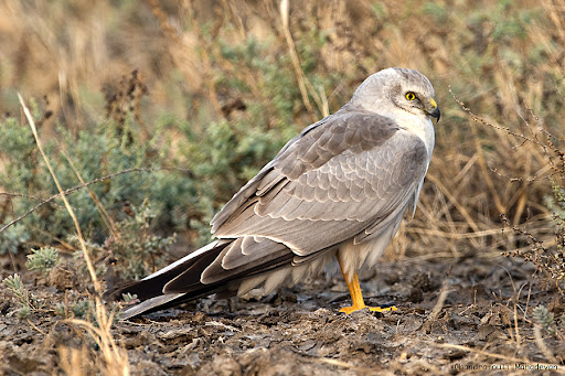wallpapers of animal pallid harrier eagles