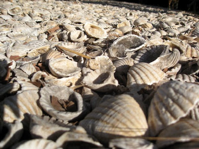 Shells at Les Collines de Niassam in Senegal