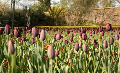Purple tulips in Golders Hill Park in London