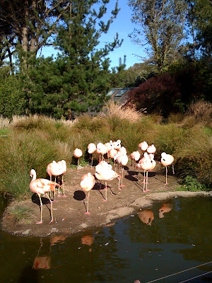 Flamingoes at San Francisco Zoo