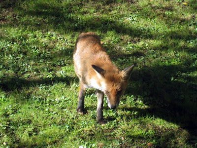 Fox in garden in Hampstead