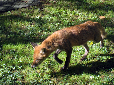 Fox in back garden in England