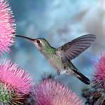 Broad-billed Hummingbird.jpg
