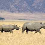 Black Rhinoceros Crossing the Savannah, Tanzania.jpg