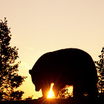 Black Bear at Sunrise.jpg