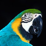Blue and Yellow Macaw.jpg