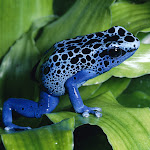 Blue Poison Dart Frog.jpg