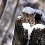 Bobcat Kitten, Flathead Valley, Montana.jpg
