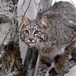 Bobcat on Tree.jpg