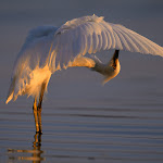 Bending Over Backwards, Snowy Egret.jpg