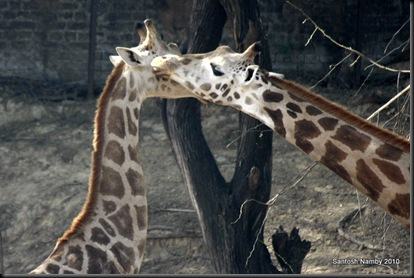 Giraffe-3