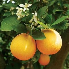 ING-oranges_sql