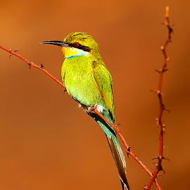 Swallow-tailed Bee-eater  Merops hirundineus   by Chris Krog - Animals Birds ( swallow-tail, bird, bee, eater, merops )