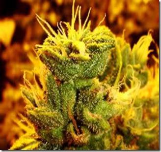marijuana333