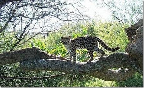 margay-tiger-cat-10