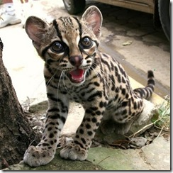 margay-tiger-cat