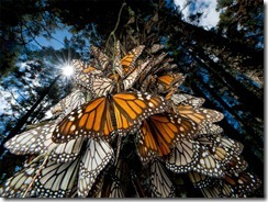 monarch-butterflies-mexico_