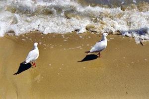 doyles - seagules