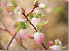 Huckleberry Blossoms
