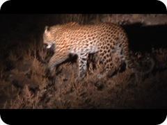 leopard Luangua (12)