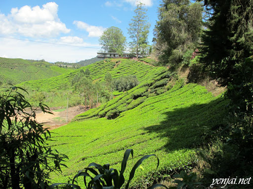 cameron highlands boh tea plantation farm