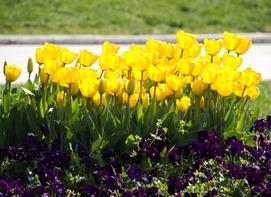 tulipsc