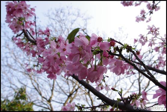 建國橋旁,不知名的小公園裡的櫻花開了
