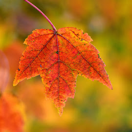 Hanging On by Larry Strong - Nature Up Close Leaves & Grasses ( up close, red, nature, fall, leaf )