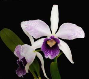 beautiful Laelia