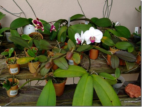 Phalaenopsis_seedlings_update