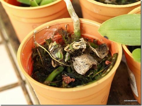 Phalaenopsis_gigantea_x_bellina_seedlings (2)