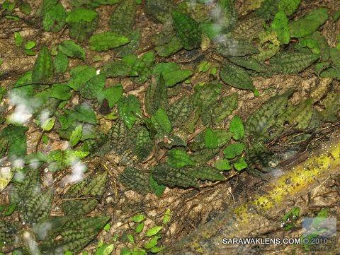 Cryptocoryne_striolata_in_natural_habitat