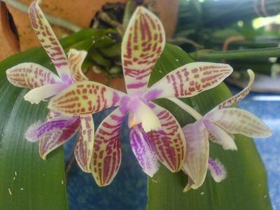 Phalaenopsis_corningiana_2008