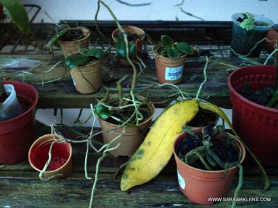 Phalaenopsis_orchids_spider_mites_2