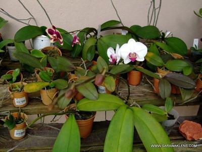 Phalaenopsis_orchids_spider_mites_1