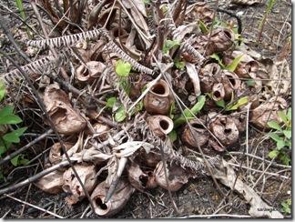 Burnt_Nepenthes_ampullaria