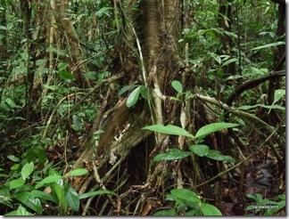 phalaenopsis orchid 4