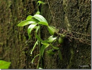 Orchids_Gunung_Kanyi_11